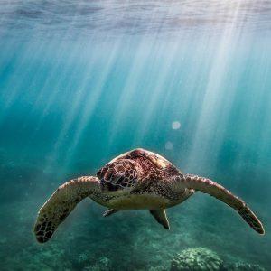 Honu Turtle Underwater
