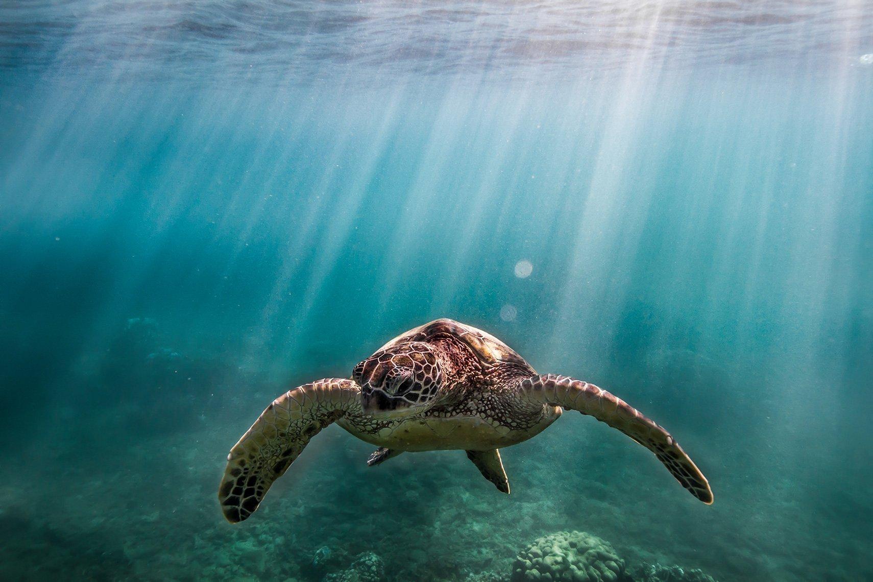 Honu Turtle Underwater by Davin Phelps