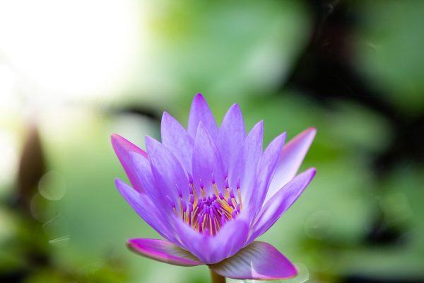 Zen Lotus by Davin Phelps