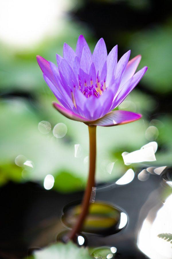 Zen Lotus Vertical by Davin Phelps